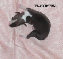 Foto 2 WHIPPET  - kleine englische Windhund