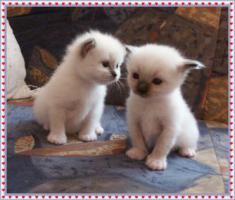 WUNDERSCH�NE HEILIGE BIRMA (SILVER) BABYS