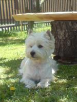 WURFANKÜNDIGUNG  West Highland White Terrier Welpen  Ende JANUAR 2012
