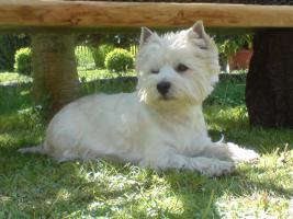 Foto 2 WURFANKÜNDIGUNG  West Highland White Terrier Welpen  Ende JANUAR 2012