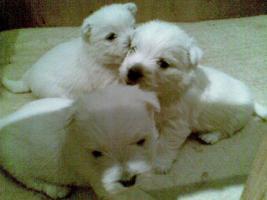 Foto 3 WURFANKÜNDIGUNG  West Highland White Terrier Welpen  Ende JANUAR 2012