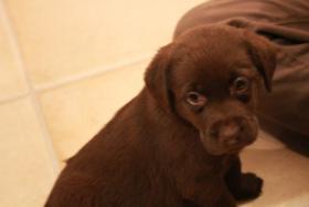 Wahnsinnig süße chocbraune und schwarze Labrador Welpen!