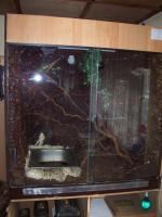 Foto 3 Wasseragamenpärchen ca. 4 jahre alt mit grossem Terrarium komplett eingerichtet