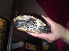 Foto 2 Wasserschildkröte