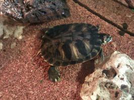 Foto 2 Wasserschildkröten
