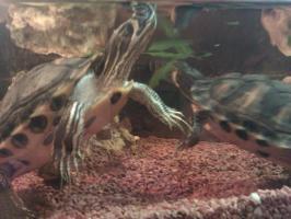 Foto 4 Wasserschildkröten