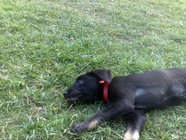 Foto 2 Wegen Krankheit des Besitzers 7 Monate Alten Hundewelpen f�r 150 Euro an Tierliebe Interessenten abzugeben !!!!