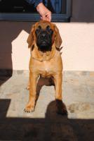 Foto 2 Weiblich Englischer Mastiff Welpen zu verkaufen