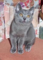 Foto 2 Weibliche Kartäuser Chartreux Kitte