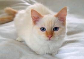 Weibliche Ragdoll Katze