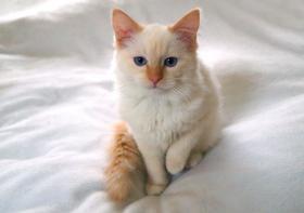 Foto 3 Weibliche Ragdoll Katze