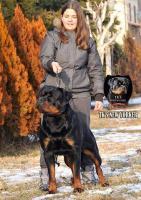 Foto 3 Weibliche Rottweiler zu verkaufen