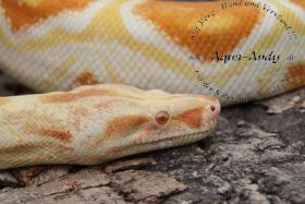 Weihnachtsboa!!!  Bis Ende 2010 sind alle Boa constrictor albino sharp line um jeweils 100 Euro reduziert und der Versand erfolgt kostenlos, bzw. bei Abholung gibt es Frostfutter im Wert von 40 Euro dazu geschenkt.   Wissenschaftlicher Name : Boa constric