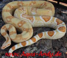 Foto 2 Weihnachtsboa!!!  Bis Ende 2010 sind alle Boa constrictor albino sharp line um jeweils 100 Euro reduziert und der Versand erfolgt kostenlos, bzw. bei Abholung gibt es Frostfutter im Wert von 40 Euro dazu geschenkt.   Wissenschaftlicher Name : Boa constric