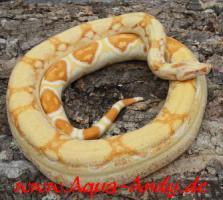 Foto 3 Weihnachtsboa!!!  Bis Ende 2010 sind alle Boa constrictor albino sharp line um jeweils 100 Euro reduziert und der Versand erfolgt kostenlos, bzw. bei Abholung gibt es Frostfutter im Wert von 40 Euro dazu geschenkt.   Wissenschaftlicher Name : Boa constric