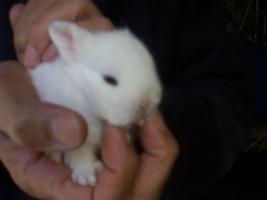 Weiße Kaninchen abzugeben in 67346 Speyer
