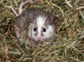 Weiße Mäuse und Vielzitzenmäuse zu verkaufen!