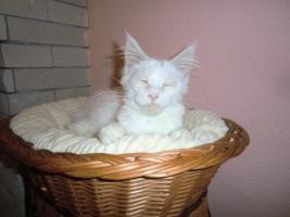 Foto 3 Weiße Maine Coon Katzenbabys