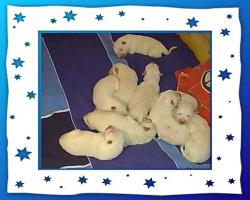 Foto 2 Wei�e Sch�ferhund Welpen