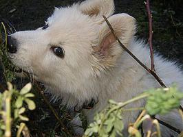 Weisse Schäferhund Welpen ab Sofort