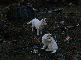 Foto 2 Weisse Schäferhund Welpen ab Sofort