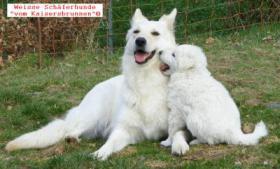 Weisse Schäferhunde Welpen ''vom Kaisersbrunnen''