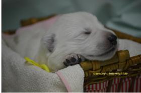 Foto 2 Weiße Schäferhunde Welpen mit Papiere
