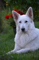Foto 3 Weiße Schäferhunde Welpen mit Papiere
