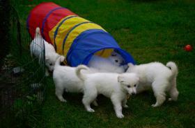 Foto 2 Weiße Schäferhunde langstock Welpen mit Papieren