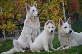 Foto 6 Weiße Schäferhunde langstock Welpen mit Papieren