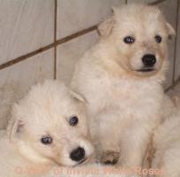 Foto 2 Weisse Sch�ferhunde of invicta White Roses