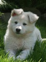 Weiße Schäferhundewelpen aus zertifierter Hausaufzucht