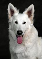 Foto 3 Weiße Schweißer Schäferhund - Welpen -- reinrassig