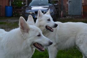 Foto 4 Weiße Schweizer Schäferhund Welpen