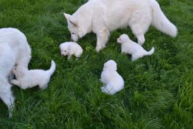 Foto 5 Weiße Schweizer Schäferhund Welpen