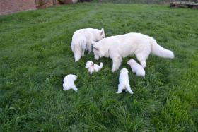 Foto 6 Weiße Schweizer Schäferhund Welpen