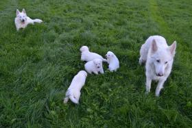 Foto 8 Weiße Schweizer Schäferhund Welpen
