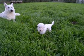 Foto 11 Weiße Schweizer Schäferhund Welpen