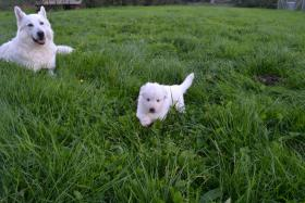 Foto 12 Weiße Schweizer Schäferhund Welpen