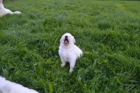 Foto 14 Weiße Schweizer Schäferhund Welpen