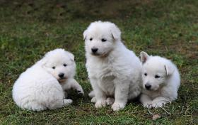 Weiße Schweizer Schäferhund Welpen