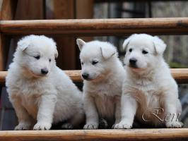 Foto 3 Weiße Schweizer Schäferhund Welpen