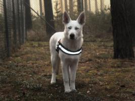 Weiße Schweizer Schäferhund-Welpen aus empfohlener Zuchtstätte