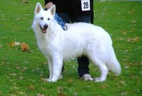 Foto 2 Weiße Schweizer Schäferhund-Welpen aus empfohlener Zuchtstätte
