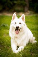 Foto 3 Weiße Schweizer Schäferhund-Welpen aus empfohlener Zuchtstätte