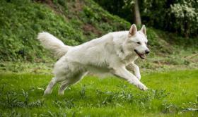 Foto 4 Weiße Schweizer Schäferhund-Welpen aus empfohlener Zuchtstätte
