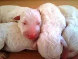 Weiße Schweizer Schäferhund - Welpen --- reinrassig