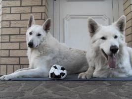 Foto 3 Weiße Schweizer Schäferhund - Welpen --- reinrassig
