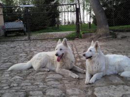 Weiße Schweizer Schäferhundwelpen abzugeben