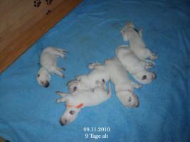 Weisser Schäferhund-Welpen- Langstock-Familienhund, ab Januar abzugeben